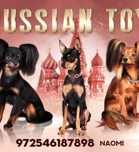 טוי רוסי – בית גידול PRETTY TOY RUSSIAN TOY