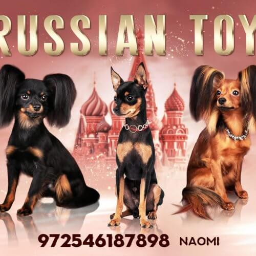 טוי רוסי - בית גידול PRETTY TOY RUSSIAN TOY