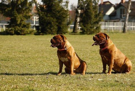 כלבים למכירה בדרום