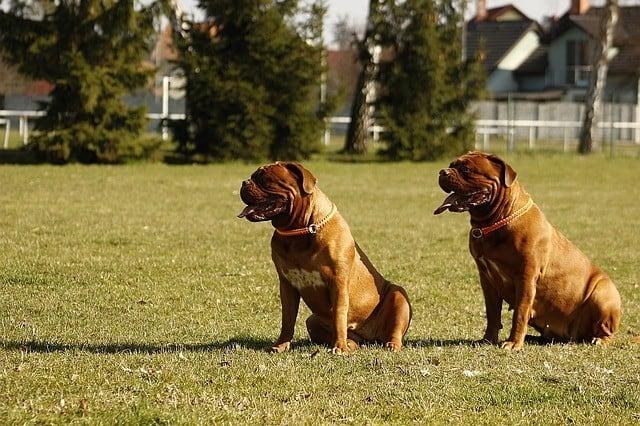 כלבי דוג דה בורדו למכירה