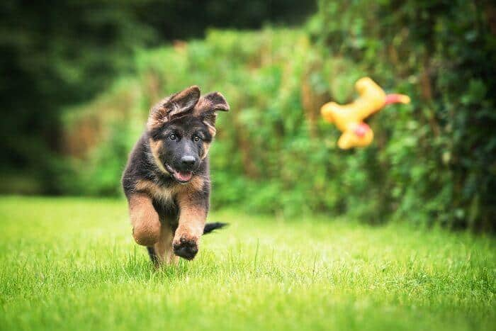 רועה גרמני רץ בדשא