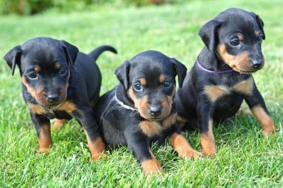 כלבים למכירה במרכז