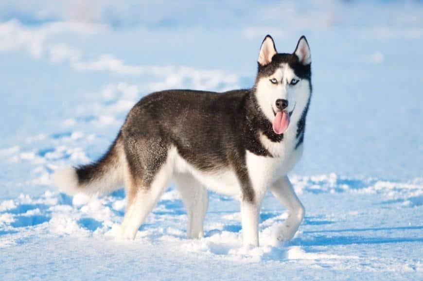 כלבי האסקי סיבירי למכירה או אימוץ