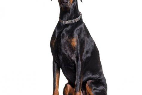 המדריך לכלבי שמירה פופולריים