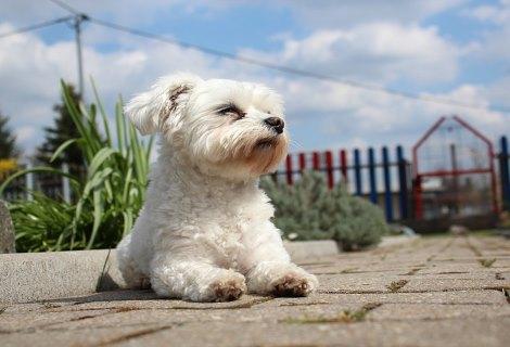כלבים קטנים שלא גדלים למכירה - מלטז - כלבים היפואלרגניים