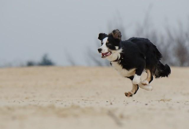 כלבי קולי למכירה