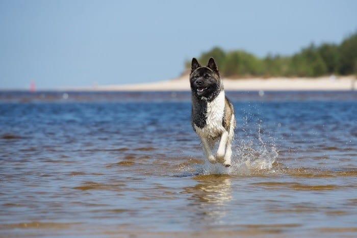 אקיטה אמריקאי רץ בים