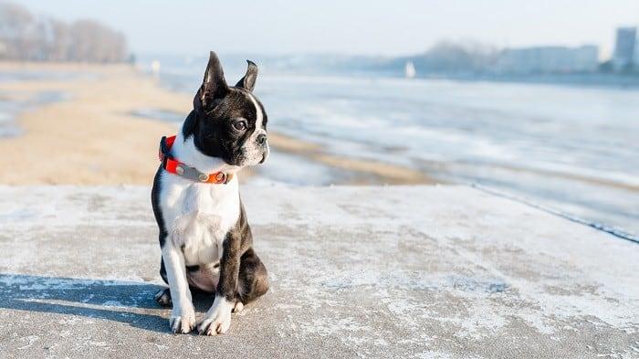 גור של בוסטון טרייר יושב חוף הים