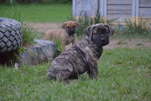בורבול אפריקאי בדשא