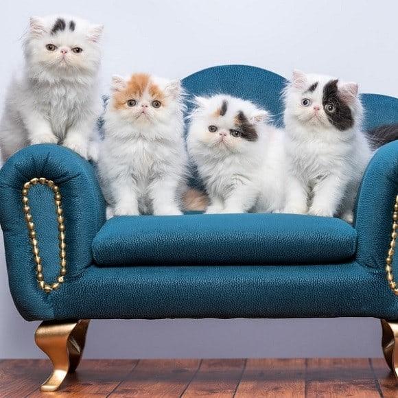 גור חתול פרסי למכירה