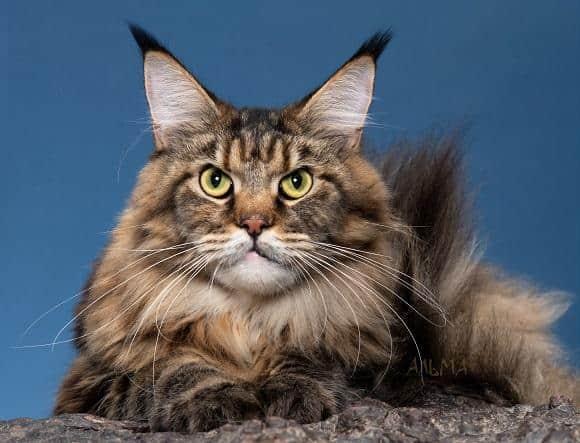 חתול מיין קון למכירה