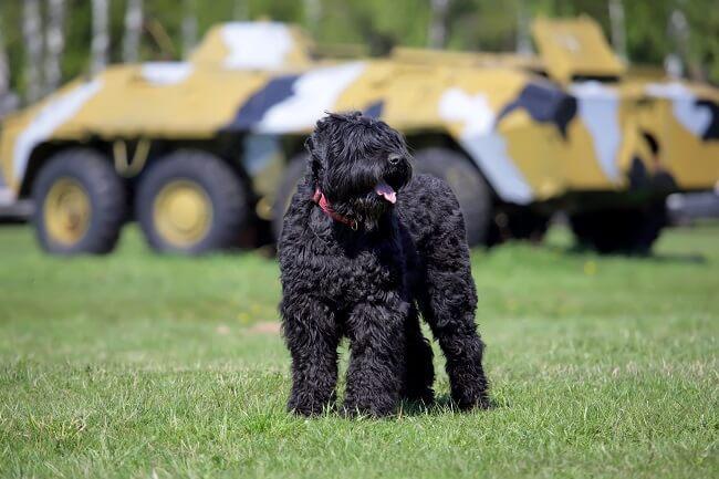 טרייר רוסי שחור משחק בדשא