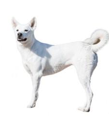כלב כנעני