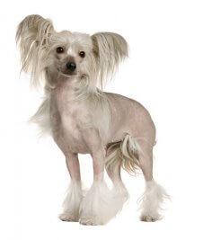 כלב סיני מצויץ
