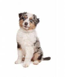 כלב רועים אוסטרלי