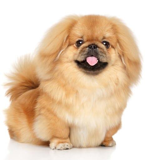 כלבים קטנים שלא גדלים למכירה - פקינז