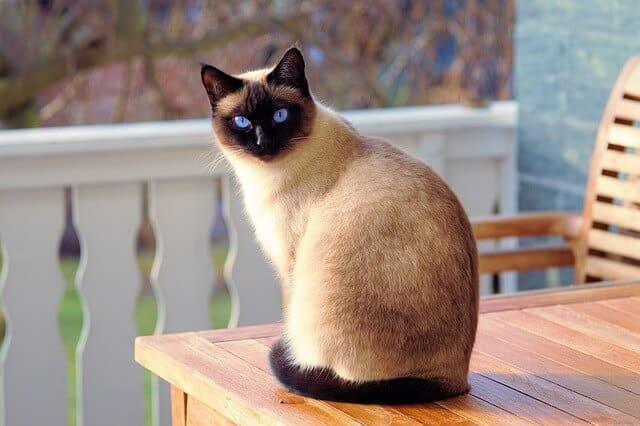 חתול סיאמי למכירה