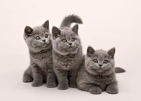 גורים של חתול בריטי קצר שיער