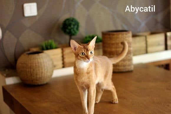 חתול אביסיני למכירה