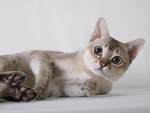 חתול סינגפורה