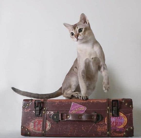 חתול סינגפורה משחק