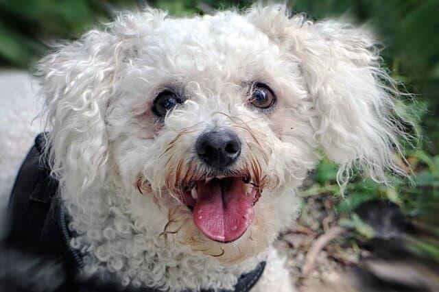 כלב קטן שאינו גדל למכירה