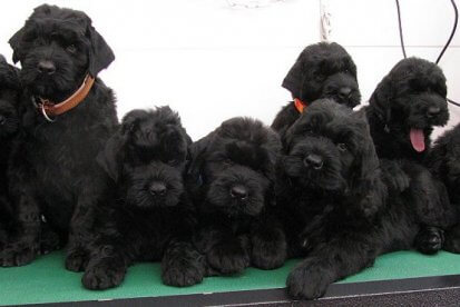 Black Royalty - Black Russian Terrier