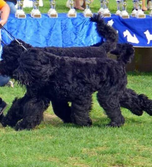 Black Royalty – Black Russian Terrier