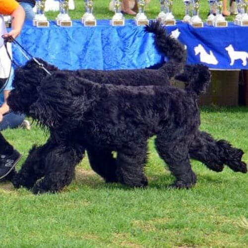 טרייר רוסי שחור - בית גידול Black Royalty - Black Russian Terrier