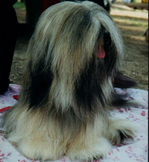 מ.ד.לאפיס בית גידול לכלבי לאסה אפסו נותן גם שרותי: הכנת כלבים לתערוכות, תספורות קייץ וגזע, הצגת כלבים בתערוכות.