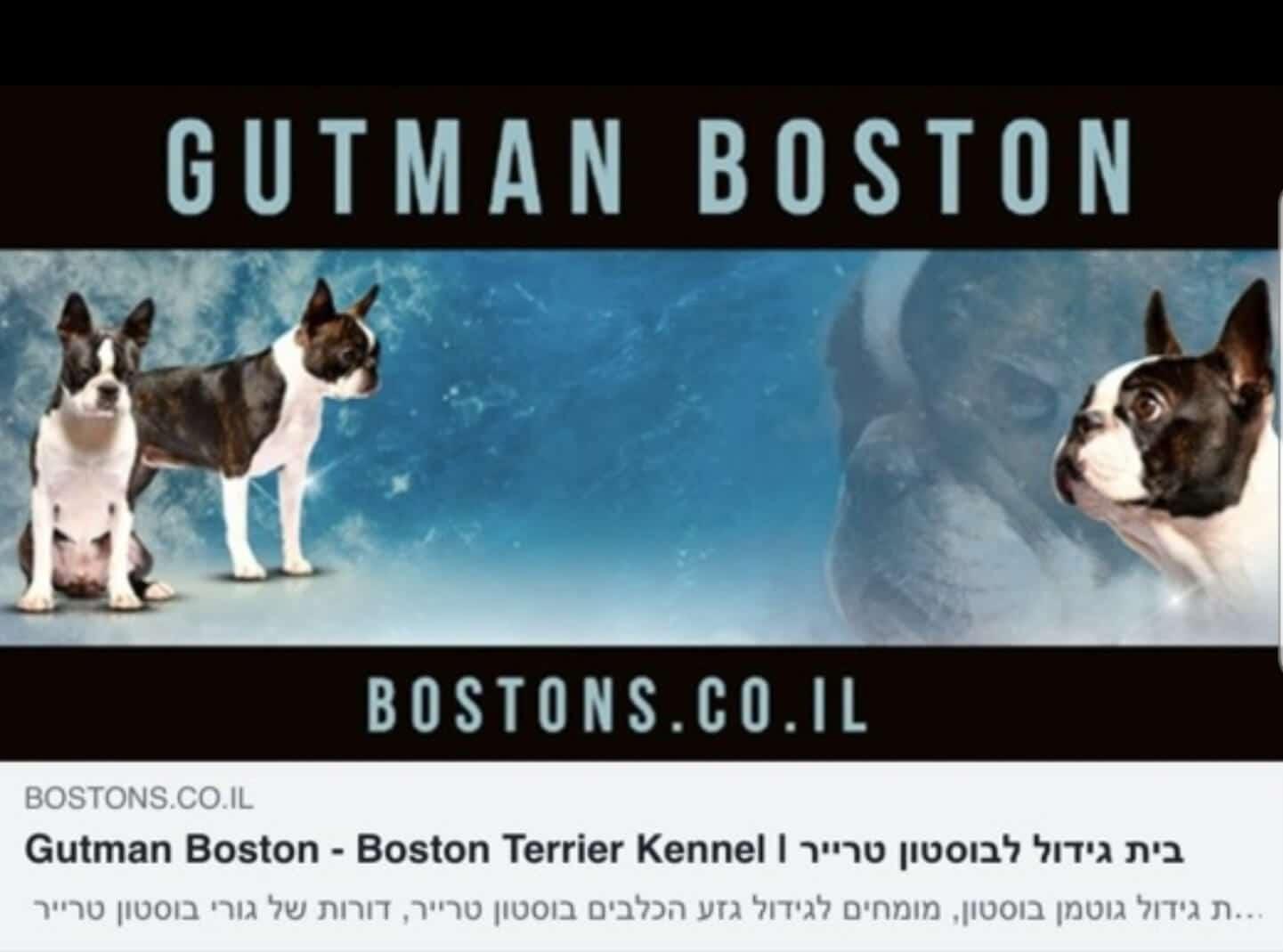 בוסטון טרייר – GUTMAN BOSTON