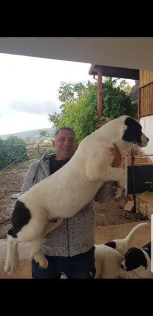 גורי רועה מרכז אסיאתי