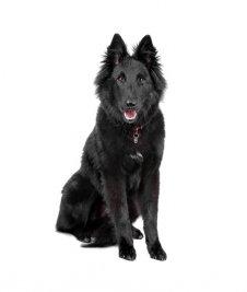 כלב רועים בלגי גרוננדל