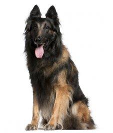 כלב רועים בלגי טרוורן