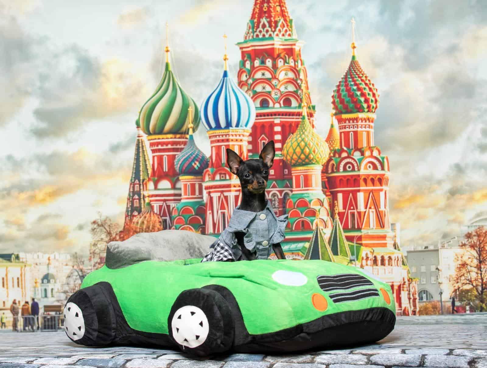 Русский той терьер щенки Израиль(טוי רוסי גורים)