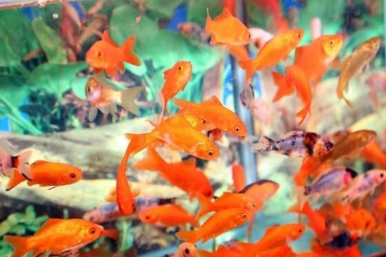דגי זהב בחנות בעלי חיים