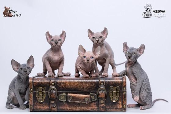 גורים של חתול אלף
