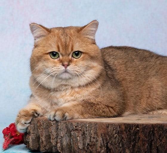 חתול צ'ינצ'ילה למכירה