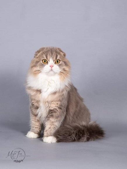חתול סקוטיש פולד