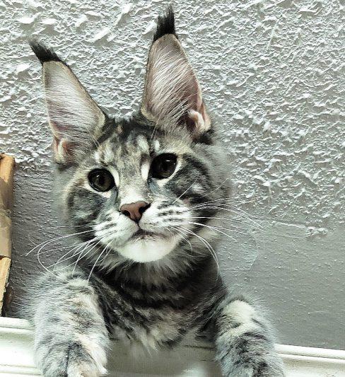 בית גידול לחתולי מיין קון – Coon Angeles