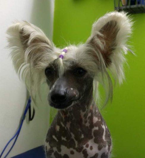 רימה פולשומן – כלב סיני מצוייץ