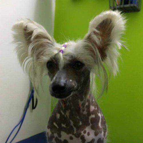 רימה פולשומן - כלב סיני מצוייץ