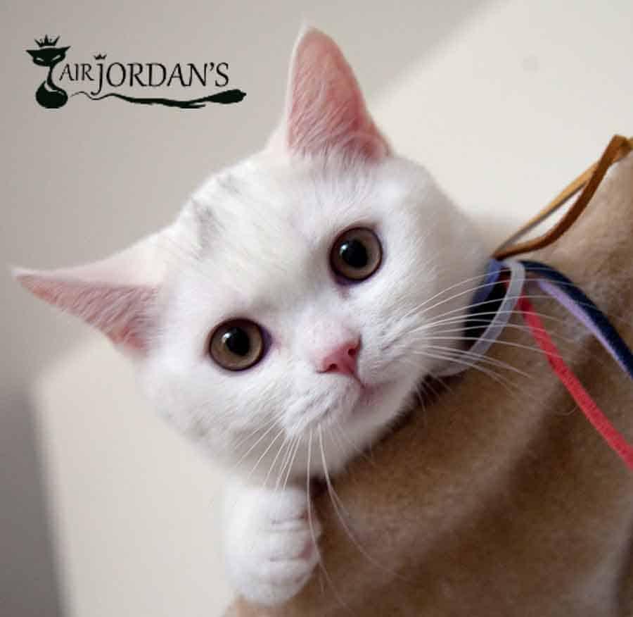 בית הגידול לחתולים בריטיים – Air Jordan's Cats Cattery