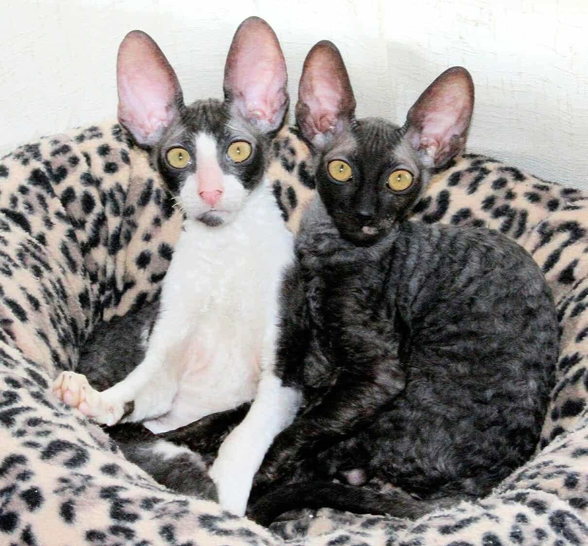 בית גידול לחתולי קורניש רקס – Silkwave