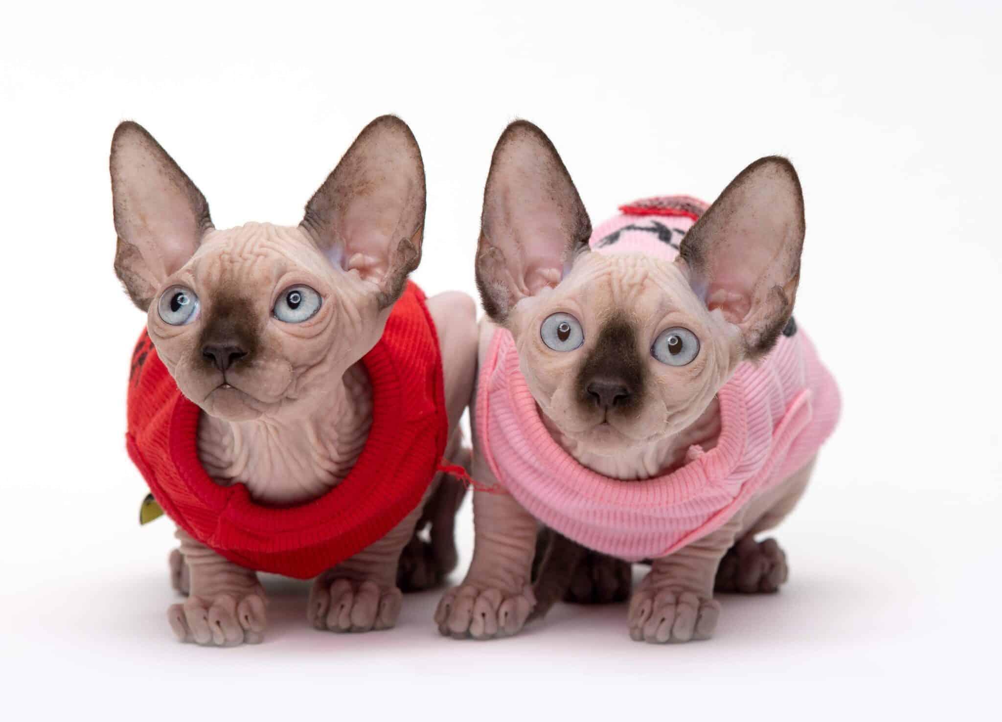 בית גידול לחתולי ספינקס קנדי ובמבינו – Fantastic Paradise