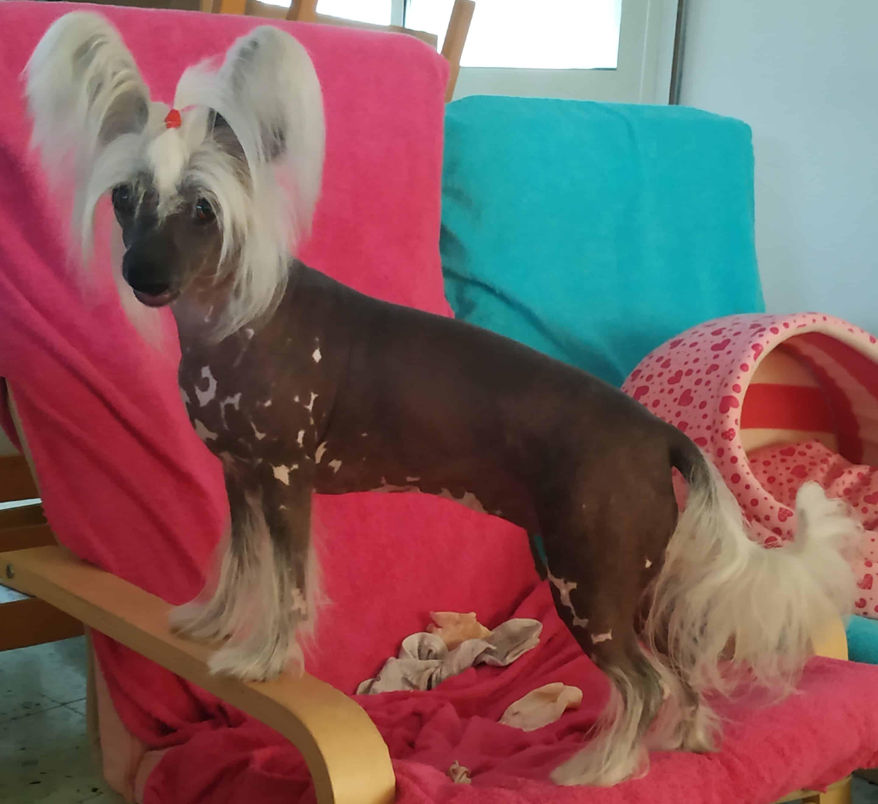 גורי כלב סיני מצוייץ