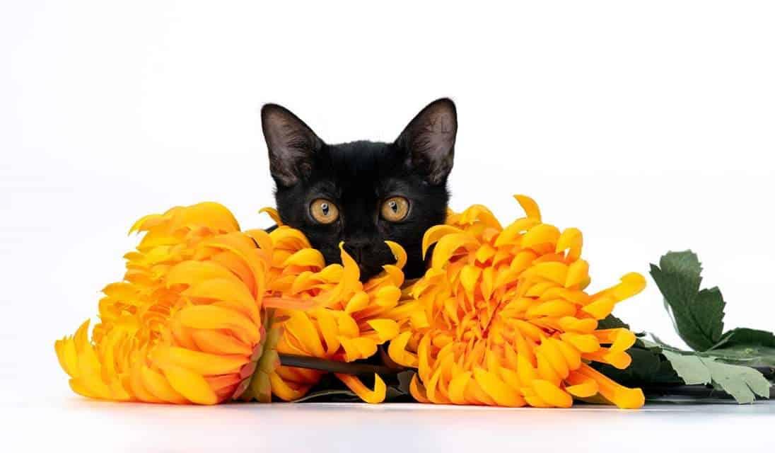 בית גידול לחתולי בומביי – Korstar