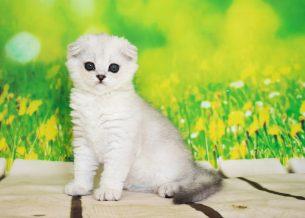 גורי חתולים מהממים מתועדים של סקוטיש פולד