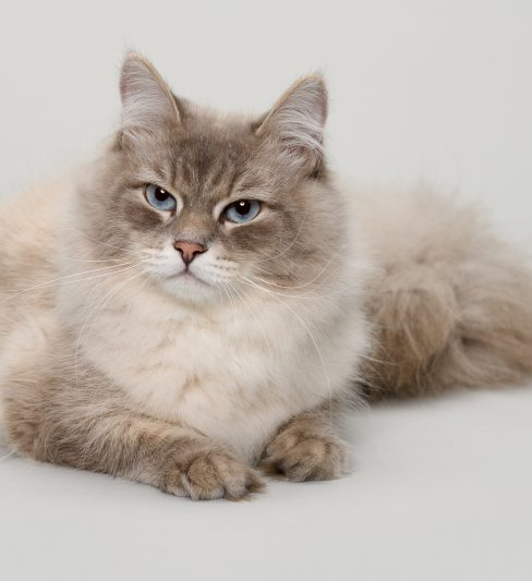 בית גידול לחתולים סיביריים – Levent Goldi Cattery