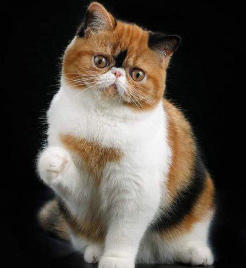 בית גידול לחתולים אקזוטיים ופרסיים – Nesslavan cat cattery